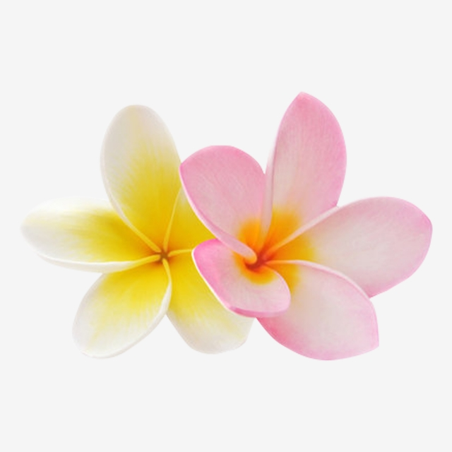 Champa Flower 8, Laos, Thai, Line PNG Transparent Clipart Image and ... svg library library