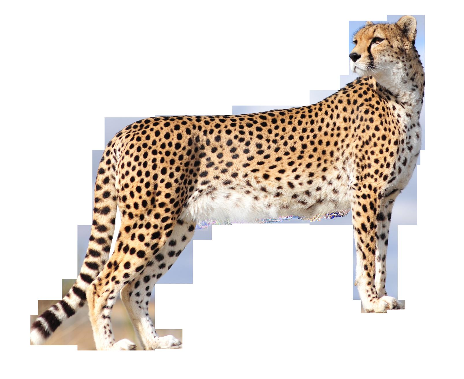 Cheetah book clipart freeuse HQ Cheetah PNG Transparent Cheetah.PNG Images. | PlusPNG freeuse