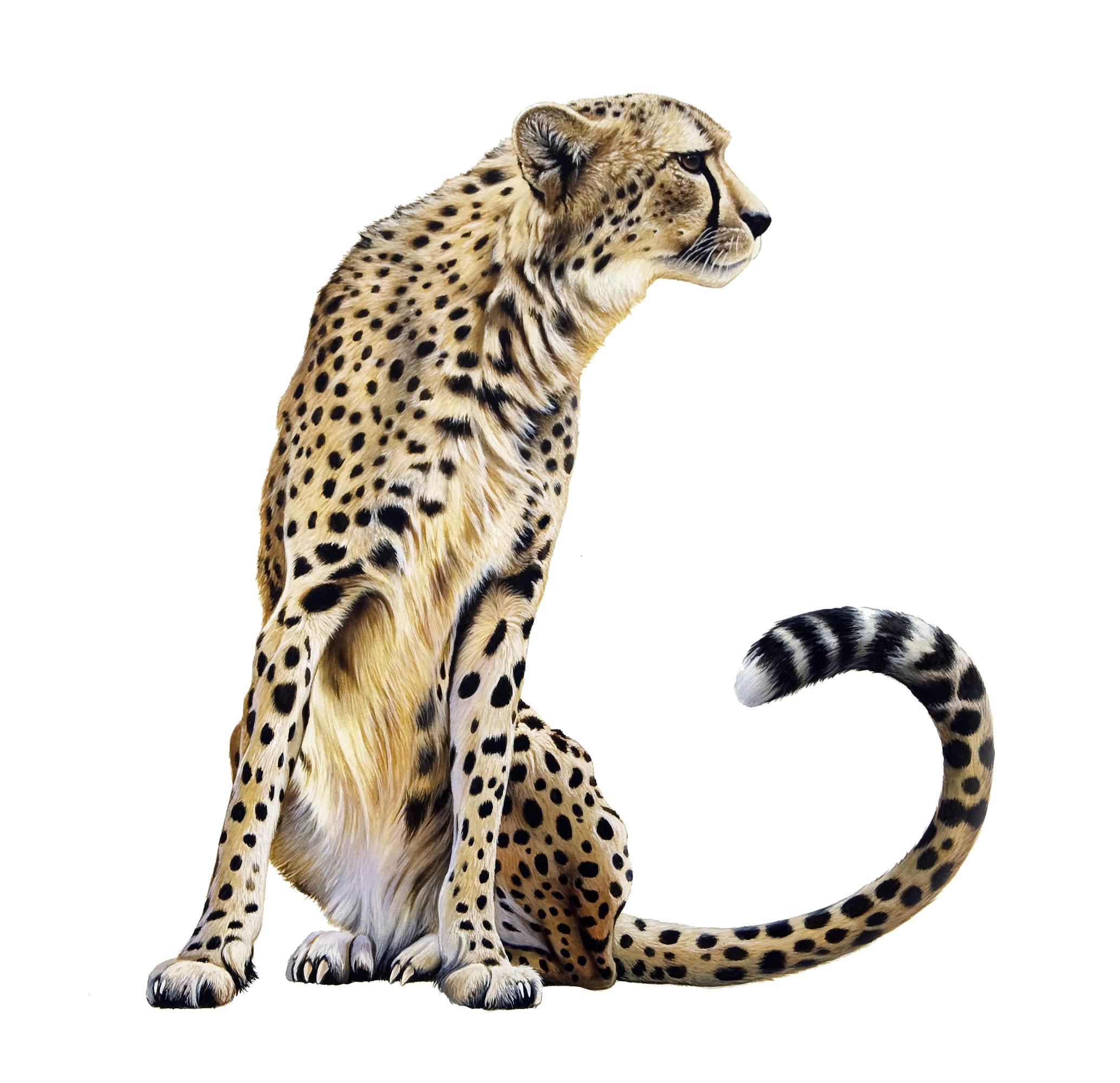 Cheetah book clipart jpg black and white library HQ Cheetah PNG Transparent Cheetah.PNG Images. | PlusPNG jpg black and white library
