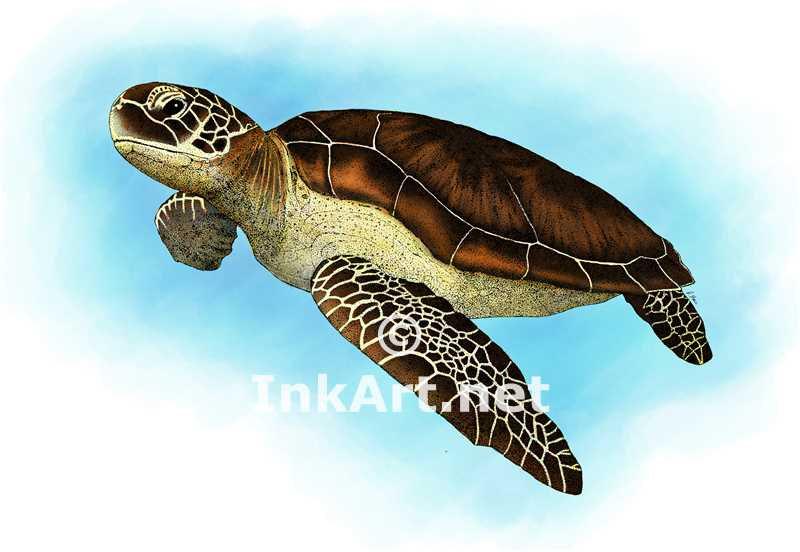 Chelonia clipart picture royalty free library Green Sea Turtle (Chelonia mydas) Line Art and Full Color - Clip Art ... picture royalty free library