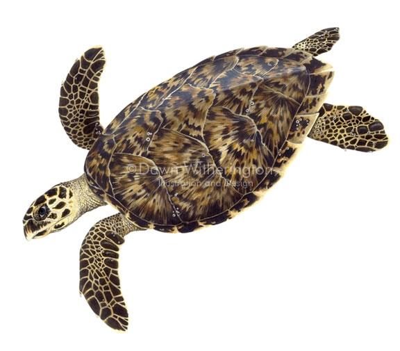 Chelonia clipart clip art Green Sea Turtle (Chelonia mydas) Line Art and Full Color - Clip Art ... clip art