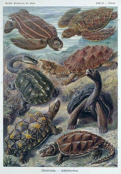 Chelonia clipart clipart library download Ernst Haeckel Chelonia Sea Turtle Illustration | kid pictures | Sea ... clipart library download