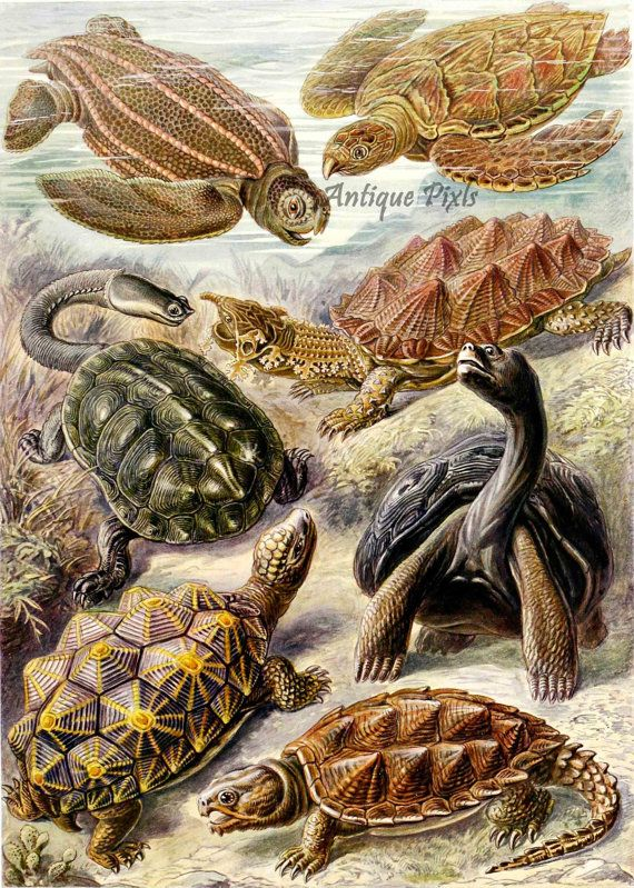 Chelonia clipart png freeuse stock Chelonia, turtles, reptiles, Ernst Haeckel Scientific Illustration ... png freeuse stock