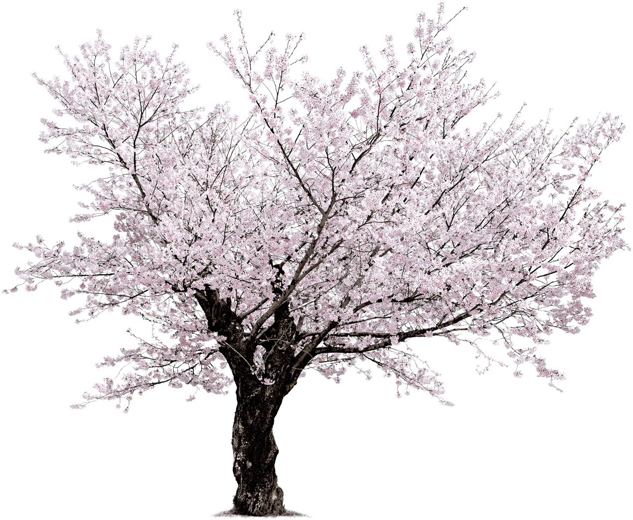 Japanese cherry blossom tree clipart jpg freeuse library Cherry Blossom Tree PNG HD Transparent Cherry Blossom Tree HD.PNG ... jpg freeuse library