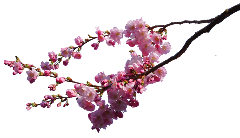 Cherry blossom tree clipart black and white picture free cherry blossom branches png STOCK by AStoKo | DDFF | Pinterest picture free