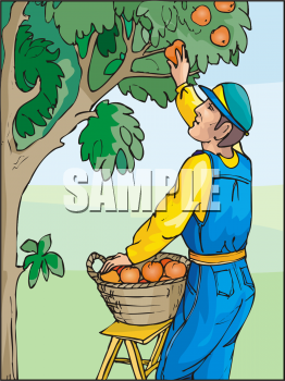 Cherry picking clipart free vector transparent library Fruit Clip Art Picture of a Man Picking Oranges in an Orange Grove ... vector transparent library