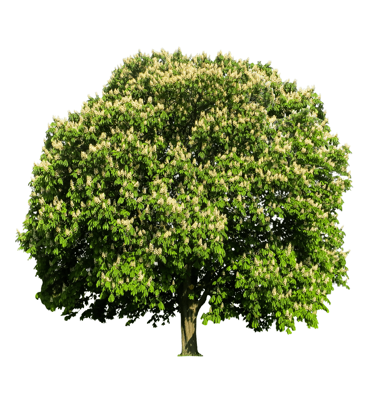 Chestnut tree clipart png royalty free stock Chestnut Tree transparent PNG - StickPNG png royalty free stock