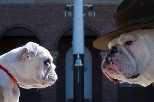 Chesty bulldog clipart vector library chesty   Tumblr vector library