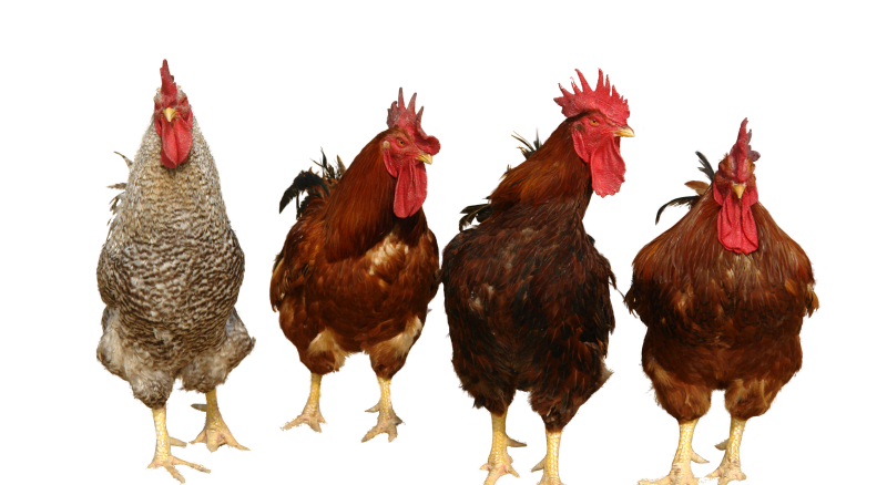 Chicken house clipart graphic stock Chicken Transparent PNG Pictures - Free Icons and PNG Backgrounds graphic stock
