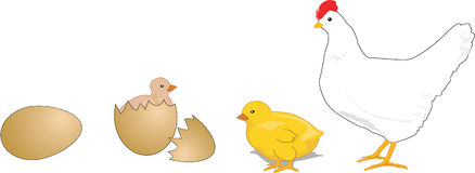 Chicken life cycle clipart. Clipartfest similar images