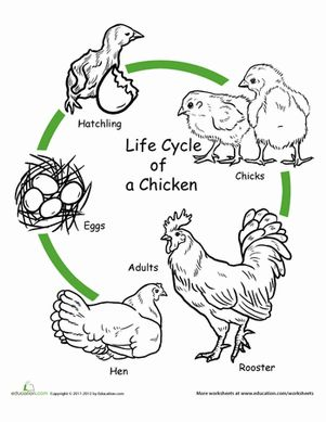 Chicken life cycle clipart graphic freeuse Chicken Life Cycle Worksheet | Coloring, Life cycles and For kids graphic freeuse