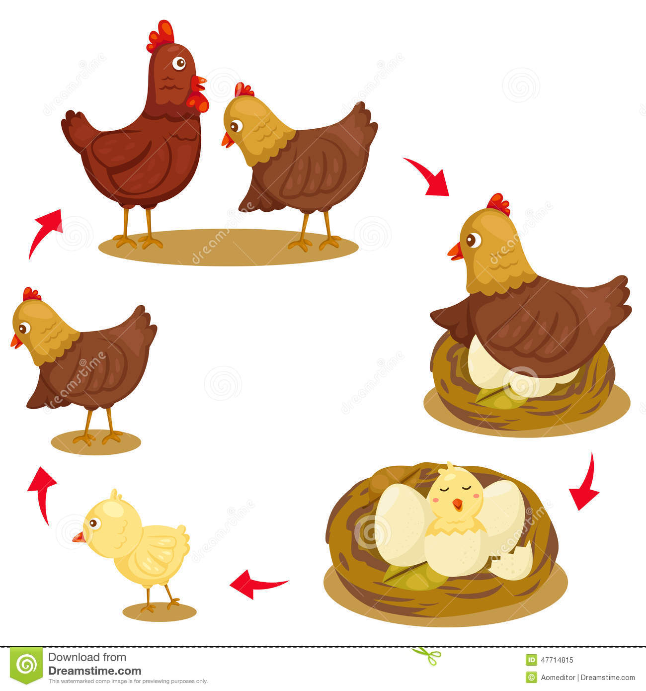 Chicken life cycle clipart clip transparent download Life cycle of a chicken clipart - ClipartFest clip transparent download