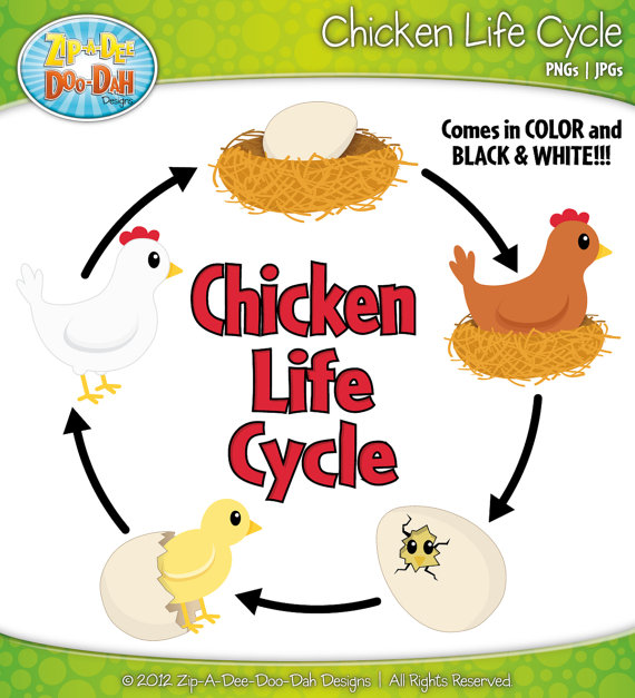 Chicken life cycle clipart. Clipartfest of a chicks