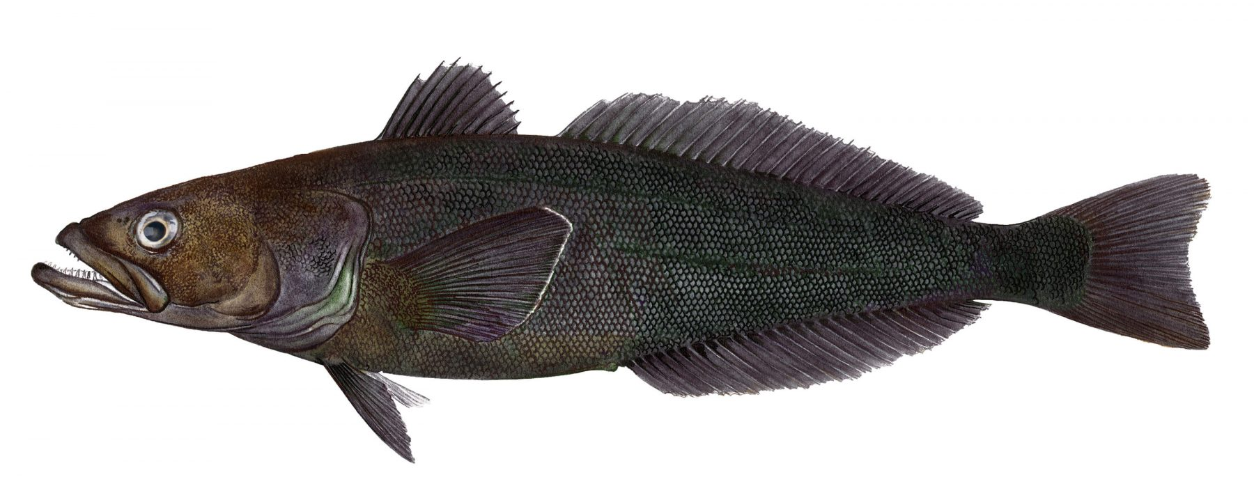 Chilean sea bass clipart vector transparent Chilean Sea Bass - Pacific Seafood vector transparent