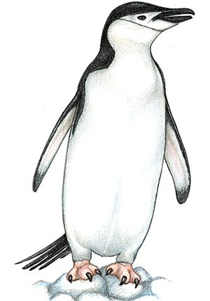 Chin strap clipart graphic free stock Chinstrap Penguin | Penguins: A Species of Lazy Waddlers ... graphic free stock