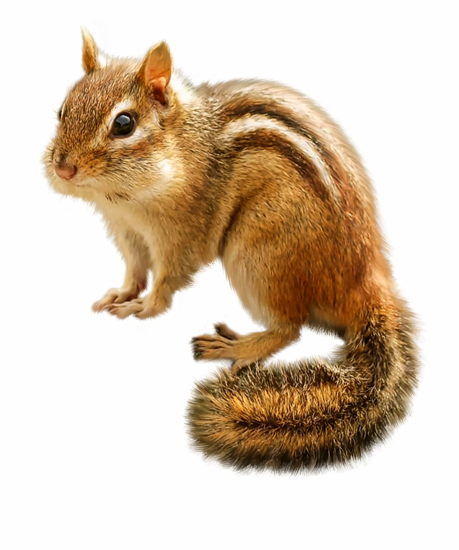 Chipmunk clipart free clipart download Png Clip Art Best - Chipmunk Clipart Png Free PNG Images & Clipart ... clipart download