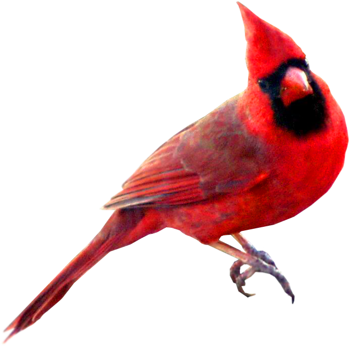 Christmas cardinal clipart clipart free 28+ Collection of Cardinal Bird Clipart | High quality, free ... clipart free