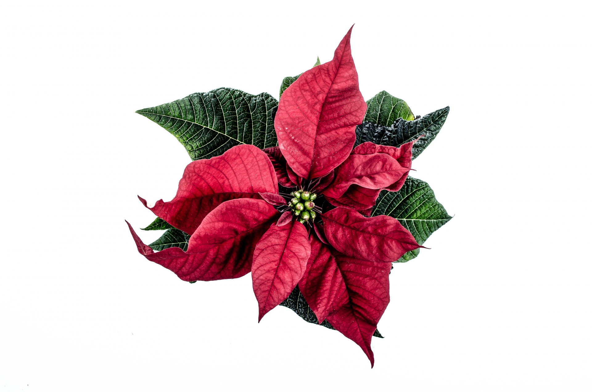 Christmas flowers pictures free clipart royalty free download Christmas Flower Free Stock Photo - Public Domain Pictures clipart royalty free download