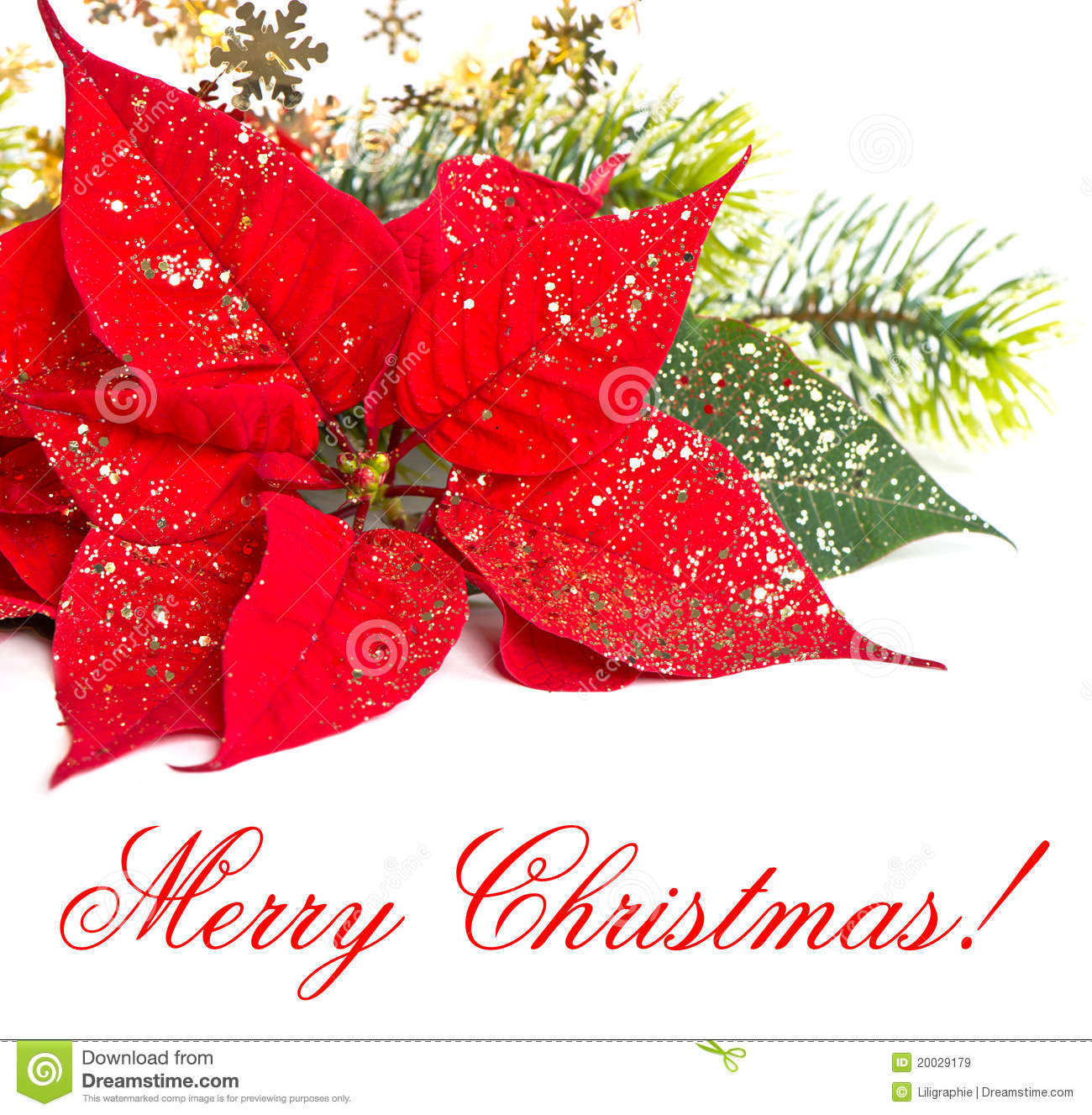 Christmas flowers pictures free svg royalty free stock Red Poinsettia. Christmas Flowers Stock Photos - Image: 21132233 svg royalty free stock