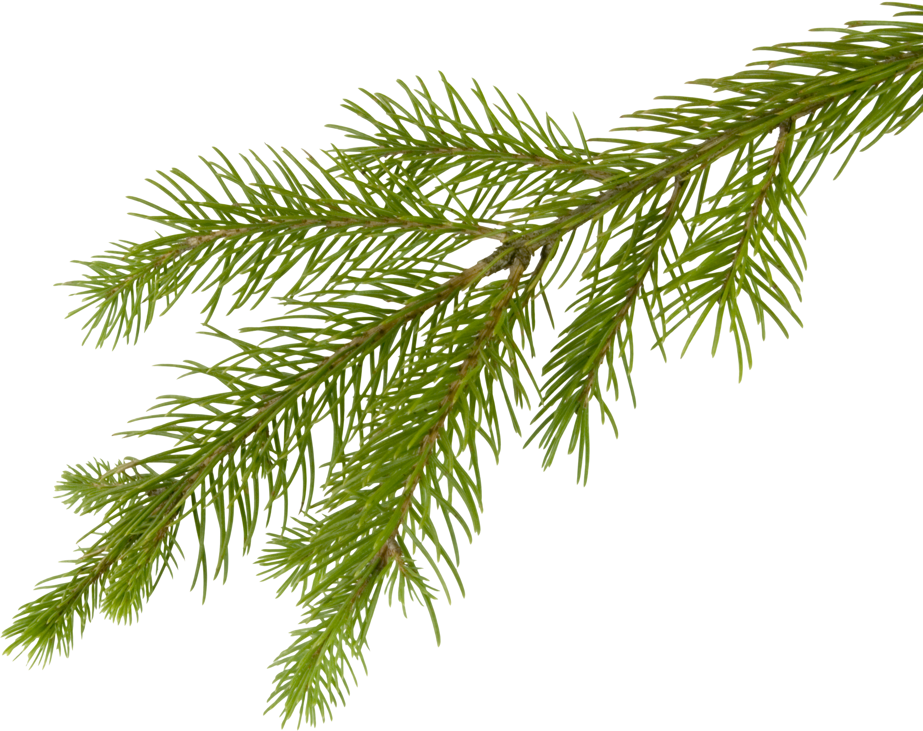 Christmas tree branch clipart svg transparent download Tree Branch Three | Isolated Stock Photo by noBACKS.com svg transparent download