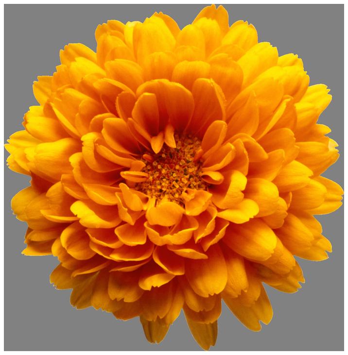 Orange flower transparent clip. Free clipart chrysanthemum
