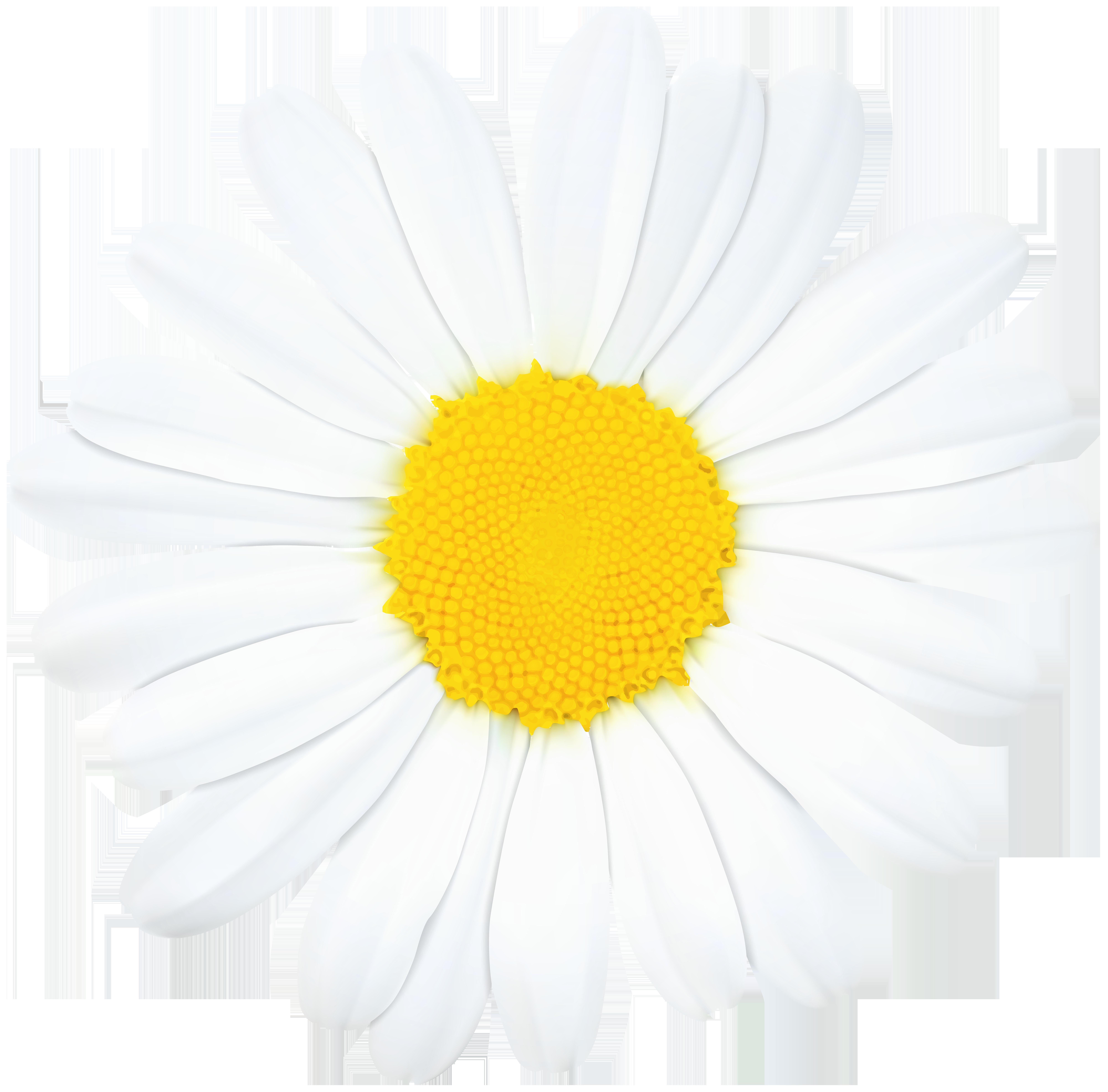Flower daisy clipart jpg free library Roman chamomile Oxeye daisy Transvaal daisy Chrysanthemum Common ... jpg free library