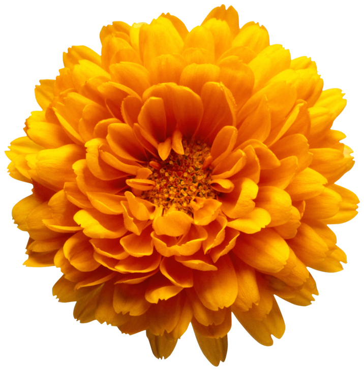 Chrysanthemum flower clipart graphic stock Orange Chrysanthemum Flower Transparent Clip Art Image | Gallery ... graphic stock