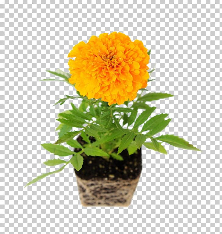 Chrysanthemums in pot clipart image black and white library Mexican Marigold Common Daisy Flower Transvaal Daisy Chrysanthemum ... image black and white library