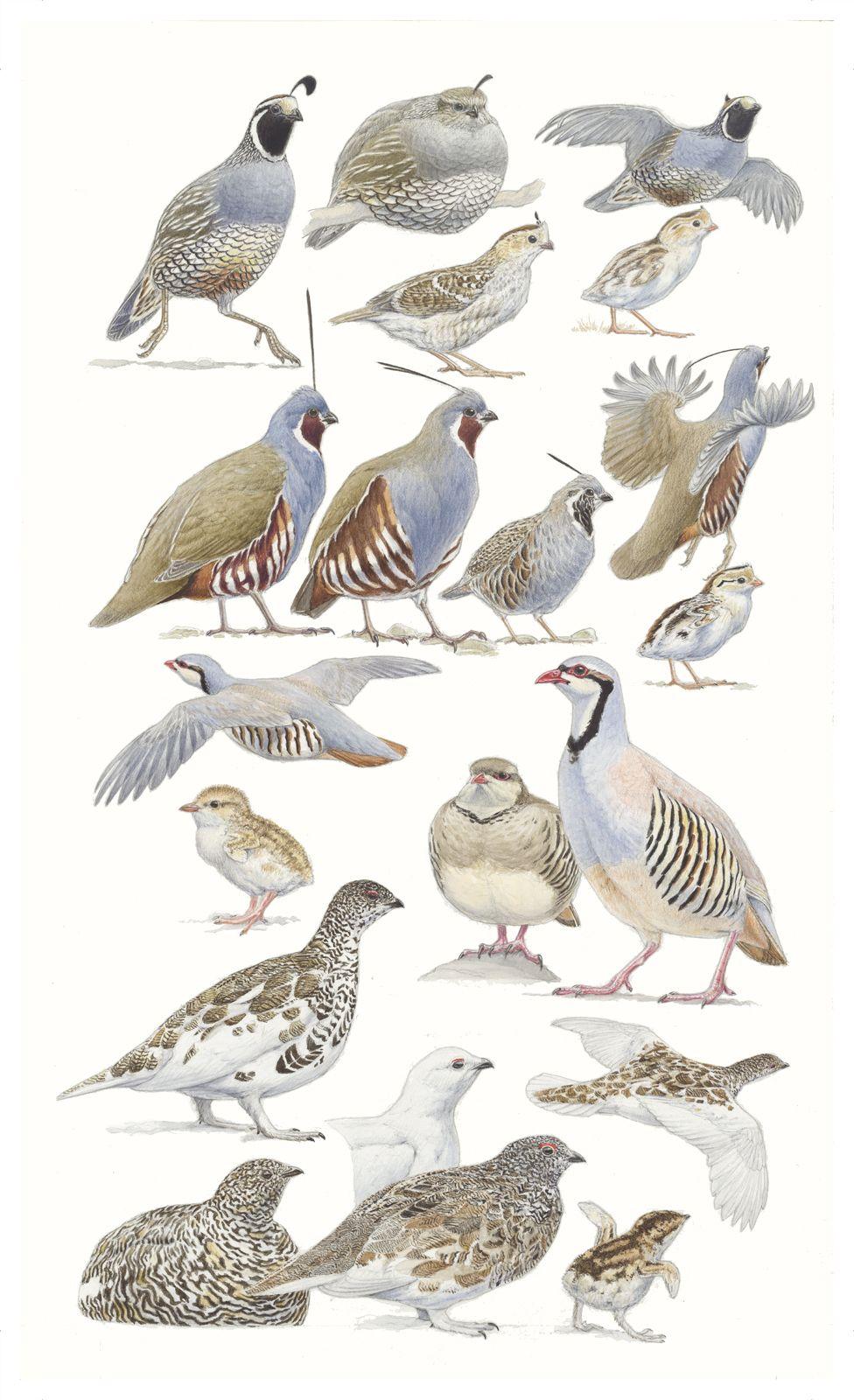 Chukkars clipart svg royalty free library Birds of the Sierra - Quail, Chukar & Ptarmigan - Plate 16 | cute ... svg royalty free library