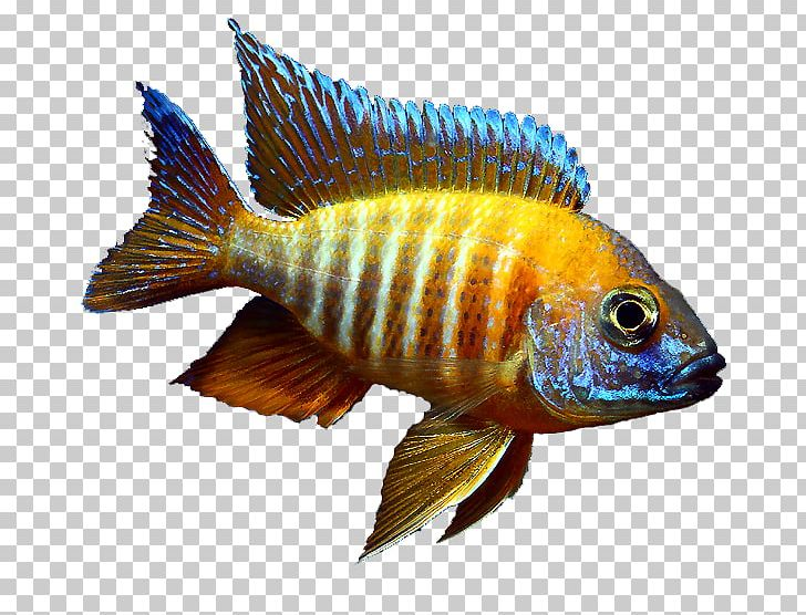 Cichlid clipart