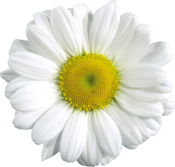 Clear background flower clipart clipart download Camomile PNG image, free flower picture clipart download