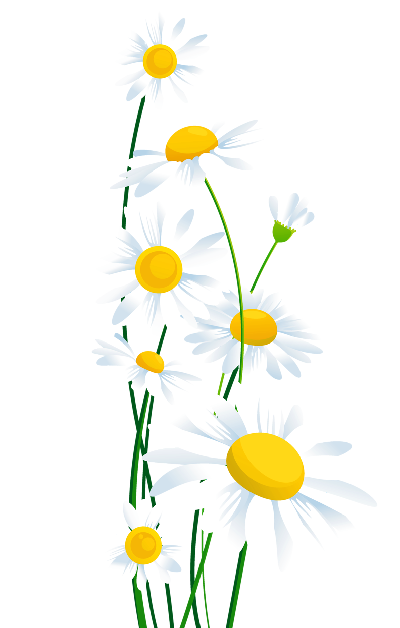 Spring flower clipart transparent graphic library library Transparent_ White_Daisies_PNG_Clipart.png (792×1245) | Transparent ... graphic library library