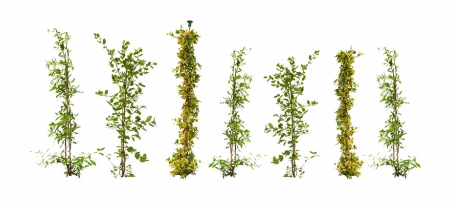 Climbing plant clipart picture transparent stock Climbing Plants Png - Climbing Plant Top View Free PNG Images ... picture transparent stock