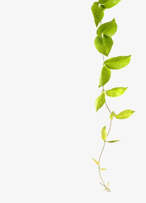 Climbing plant clipart png transparent stock Green Leaf Vines PNG, Clipart, Branches, Climb, Climbing, Climbing ... png transparent stock