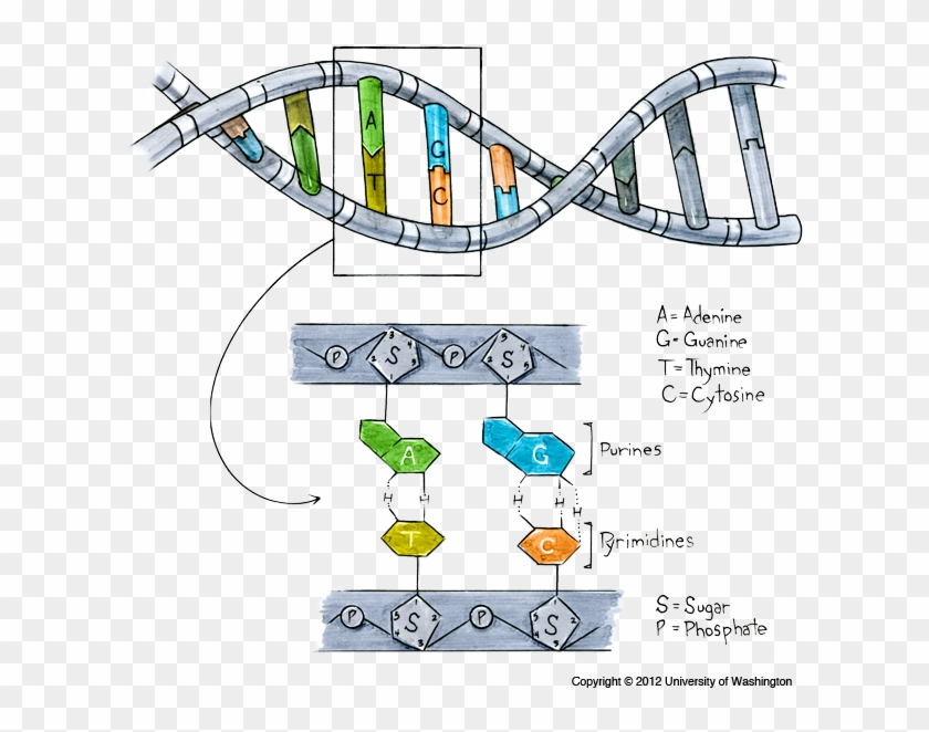 Clipart allele clip library download Structure Of Dna - Gene Dna Allele, HD Png Download - 615x620 ... clip library download