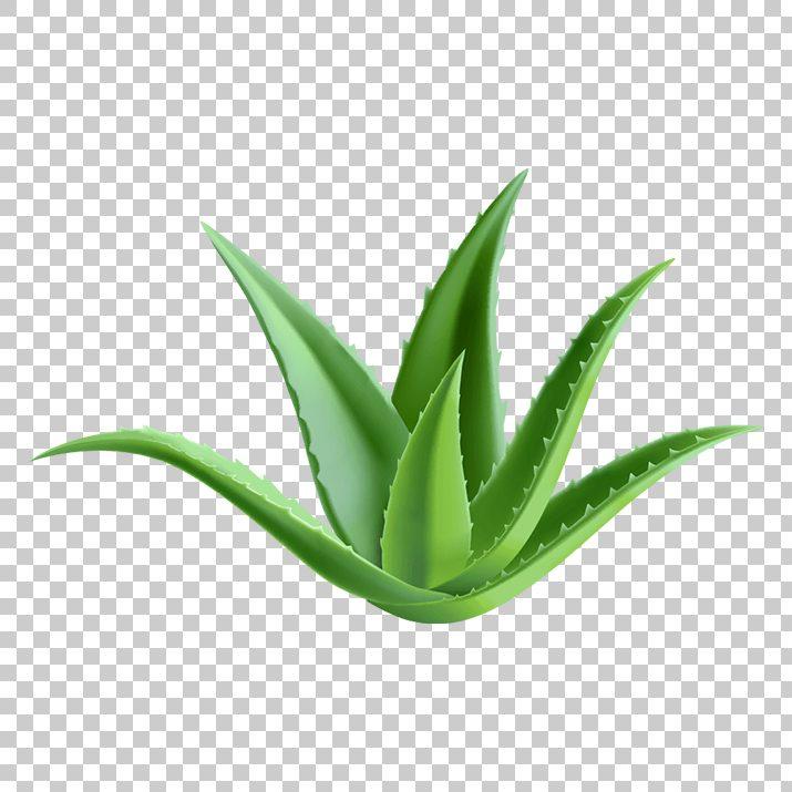 Clipart aloe vera banner free Aloe Vera PNG Clip Art Free Download searchpng.com banner free