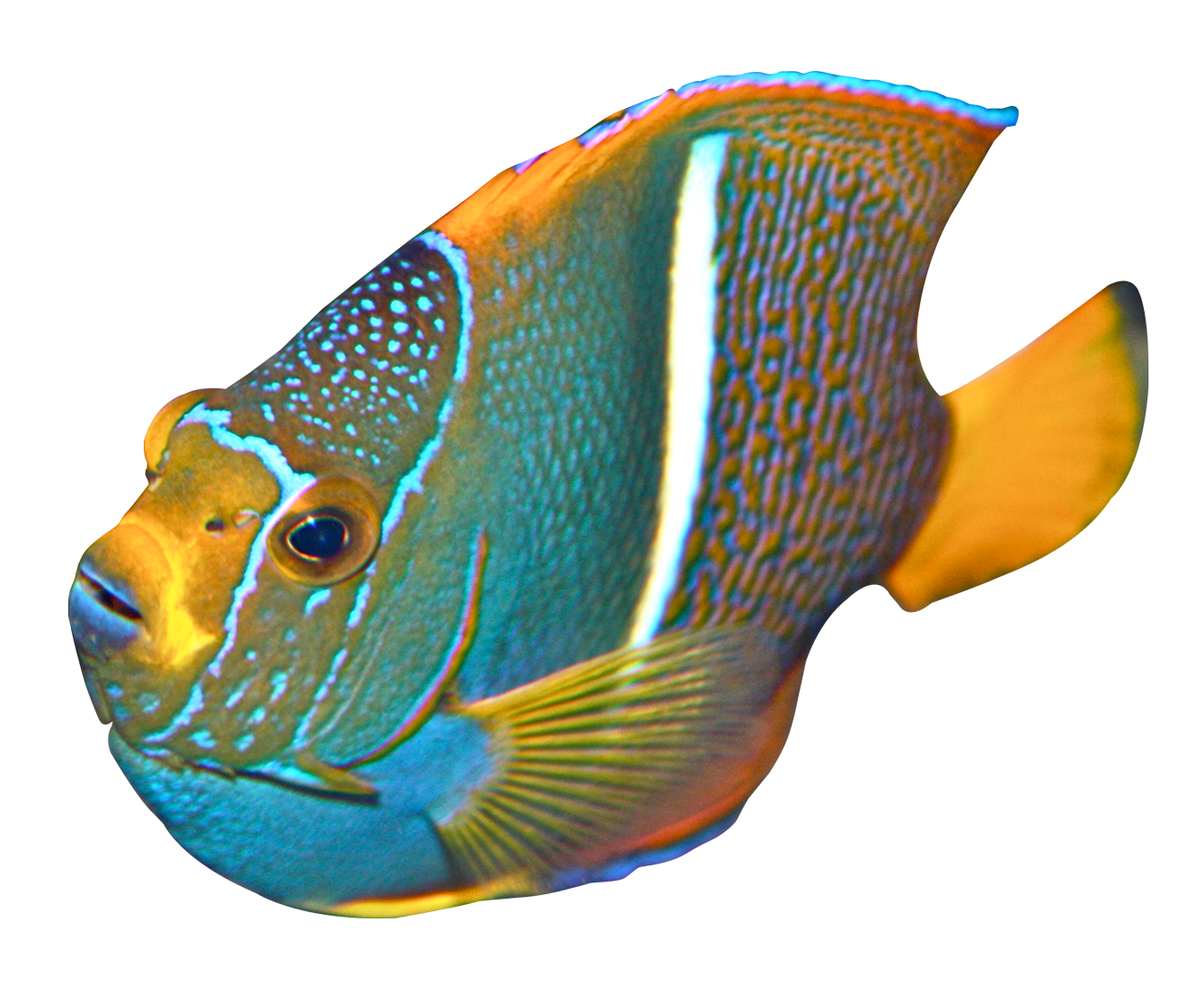 Clipart angel fish vector library library Angelfish PNG Image - PurePNG | Free transparent CC0 PNG Image Library vector library library