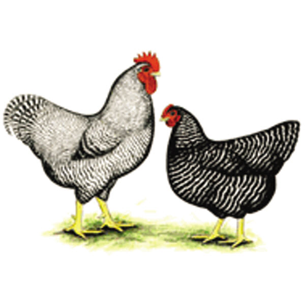 Clipart barred rock chicken royalty free library Grange Co-op: Live Poultry royalty free library