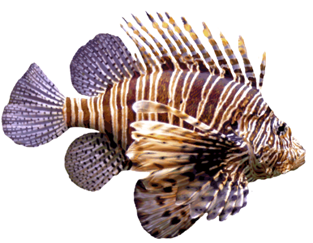 Clipart beta fish picture royalty free download Amazing Clip Art of Saltwater Fish: Lionfish | Venomous animals ... picture royalty free download