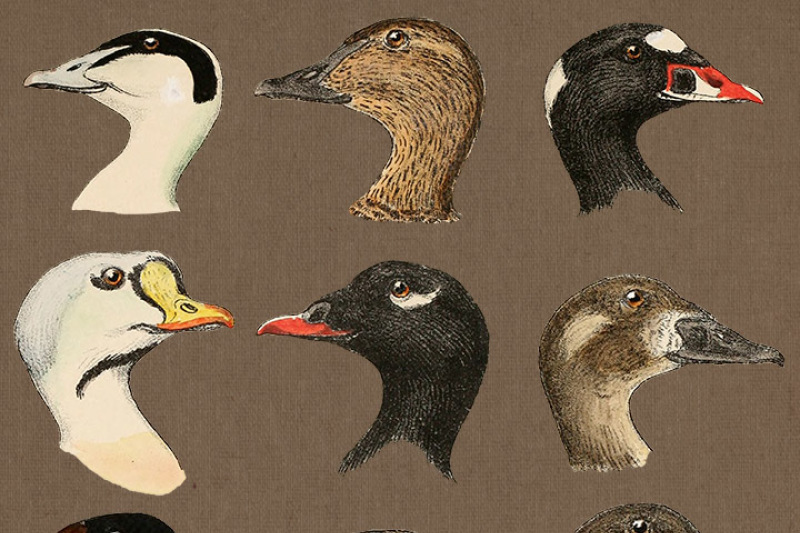 Clipart birdsfaces clipart library stock 12 Vintage Duck Faces Clipart, Duck Head Clip Art, Antique Farm ... clipart library stock