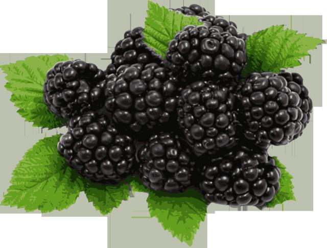Clipart blackberries clip freeuse download Free Black Berries Cliparts, Download Free Clip Art, Free Clip Art ... clip freeuse download