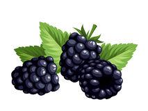 Clipart blackberries clip art royalty free Blackberries clipart » Clipart Station clip art royalty free