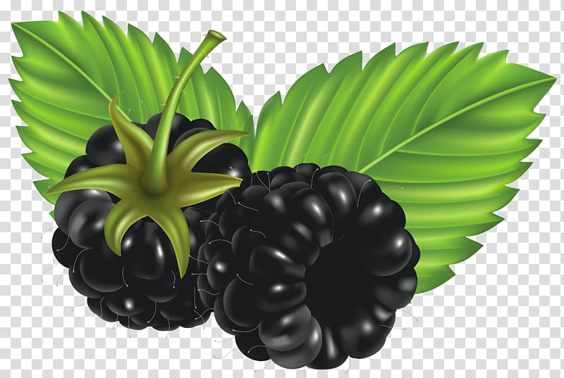 Clipart blackberries graphic freeuse download Raspberry illustration, Blackberry , Blackberries transparent ... graphic freeuse download