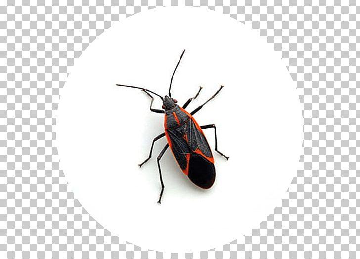 Clipart boxelders svg transparent Boxelder Bug Boxelder Maple Pest Control Beetle PNG, Clipart ... svg transparent