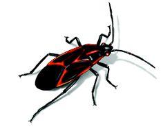 Clipart boxelders picture free 20 Best Garden Pests images in 2016   Garden Pests, Garden, Insect ... picture free