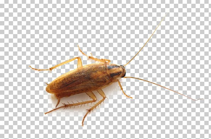 Clipart boxelders image freeuse download German Cockroach Insect Pest Control Bed Bug PNG, Clipart, American ... image freeuse download