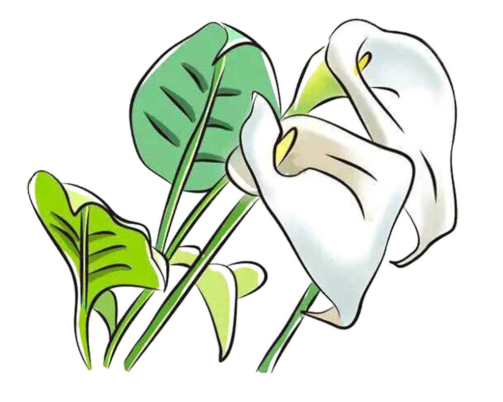 Clipart calla lily flower clip royalty free library Arum-lily Arum Lilies Flower Clip art - White calla lily picture ... clip royalty free library