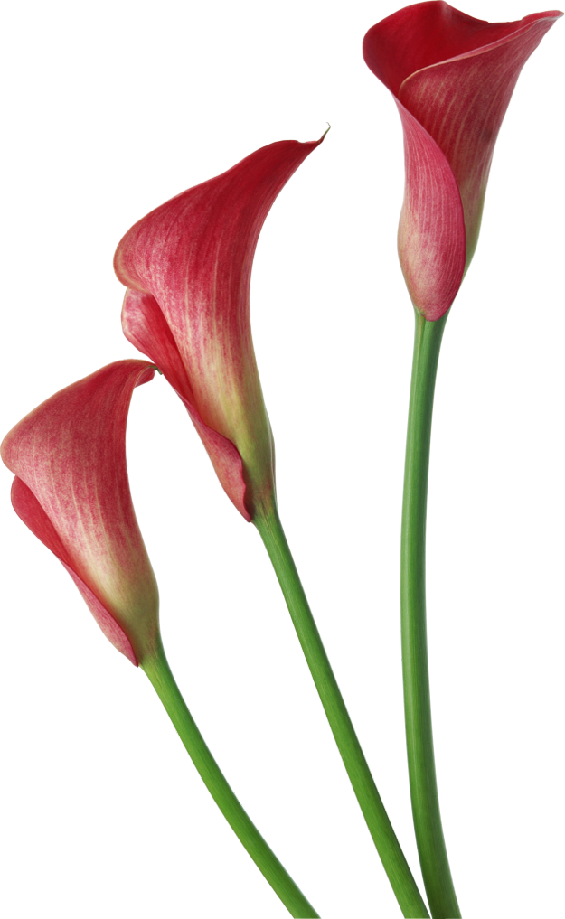 Clipart calla lily flower banner free download Red Transparent Calla Lilies Flowers Clipart | Gallery Yopriceville ... banner free download