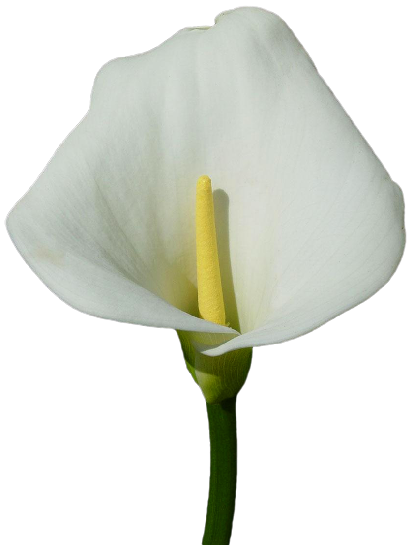 Clipart calla lily flower banner Large Calla Lily PNG Clipart | Gallery Yopriceville - High-Quality ... banner