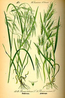 Clipart cheatgrass png free library Bromus tectorum - Cheatgrass (N.Am), Drooping Brome (Eu) sveřep ... png free library